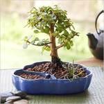 Bbjade_bonsai_xxl